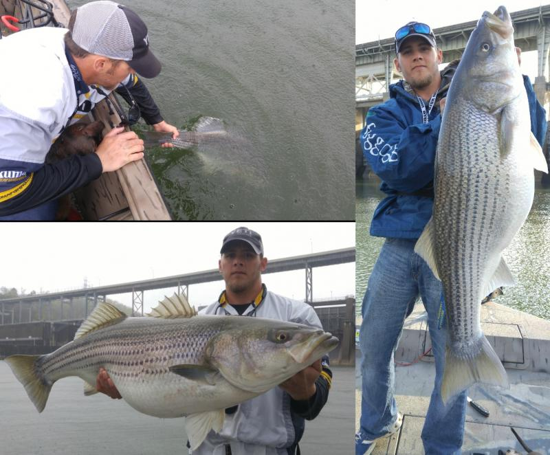 Tennessee striper and catfish guide we primarily fish for Fishing lakes in tennessee
